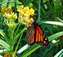 Monarch Memories by Marmadas