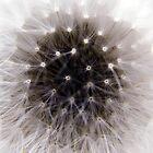 Dandelion Weed Macro by Rod  Adams
