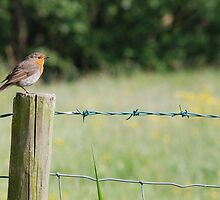 robin in farndale by dougie1