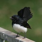Willie Wagtail by Tony Waite