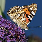 Australian Painted Lady by David Cook