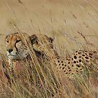 Cheetah Male Coalition by Hannah Shaw