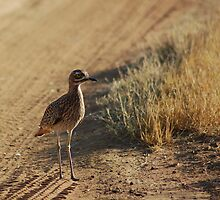 Spotted Thick-Knee by Hannah Shaw