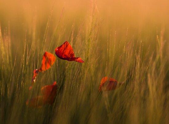 Red Petals by geoff curtis