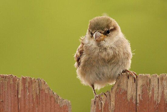 Female House Sparrow by tomryan