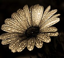 Gerbera Dew by Andy Mueller