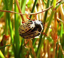 Macro shot of a beetle  by Roxymage