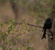 Forked Tailed Drongo by TheSilverFox