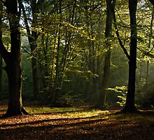 Burnham Beeches #1 - Buckinghamshire, England by pms32