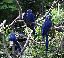 Blue Macaws by budrfli