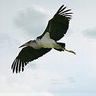 Malibu Stork in flight by Tawny