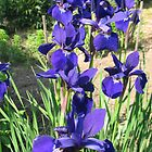 Dark blue Iris by persnicketier10