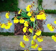 Orchid Yellow by femourao
