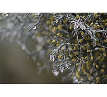 dew on pine trees in winter Photographic Print