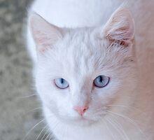 White cat by DariaElena