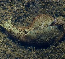 Sea hare by Anne-Marie Bokslag