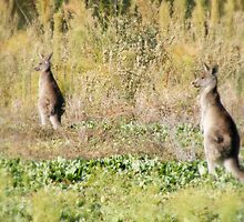 Kangaroos by joshua favaloro