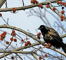 Grackle Colors by Debbie Oppermann