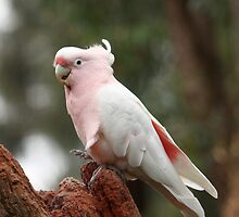 Pink Cockatoo by Margot Kiesskalt