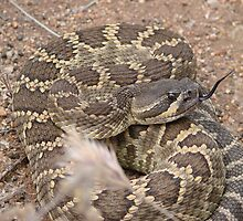Rattle Snake by Garret