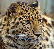 Amur Leopard by Alistair Balharrie