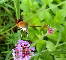 hummingbird moth on flower by Barberelli