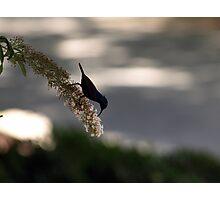 Sunbird in the shade Photographic Print