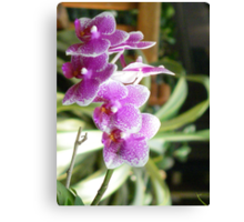 Purple and pink hybrid orchids Canvas Print