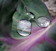 Waterdrops on sea kale(Crambe maritima) by Kady