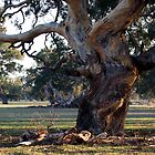 Corkscrew Redgum at Kalangadoo, South Australia. by Nick Hunt