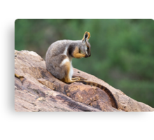 Yellow-footed Rock Wallaby 1 Canvas Print