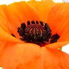 Poppy Day by nikki harrison