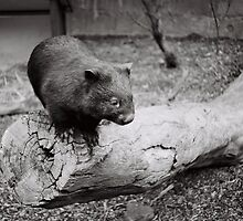 A curious little wombat by Ajmdc
