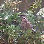Wattle Bird by oiseau