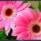 Pink Daisies by Felicia Morgan Hale