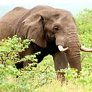 THE AFRICAN ELEPHANT - Oxodonta africana by Magaret Meintjes