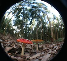 Amanita muscaria fungi by Nick Hunt