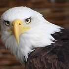 The Stunning Bald Eagle......... by jdmphotography