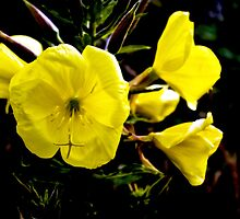 Evening Primrose by Catherine Hamilton-Veal  ©