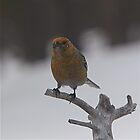 Pine Grosbeak II by Katariina Lonnakko