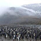 King Penguin Rookery by John Douglas