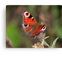 Peacock Butterfly, Manfield  Scar, North East England Canvas Print