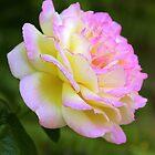 Pink Rose by Maureen Clark