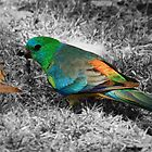 Red Rumped Grass Parrot by OzShell