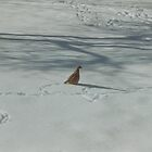 Guinea in the snow by RobPM