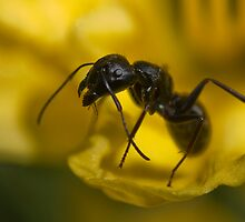 ant on daylily by jude walton