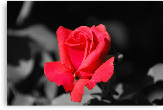 Red Red Rose - SC by mcstory