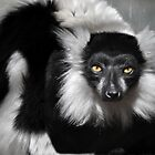 Black-and-white Ruffed Lemur by venny