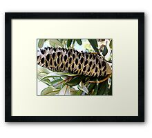 Old Man Banksia  Framed Print