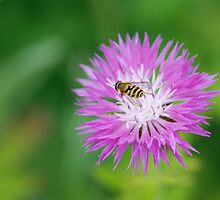 Busy Bee by miketv